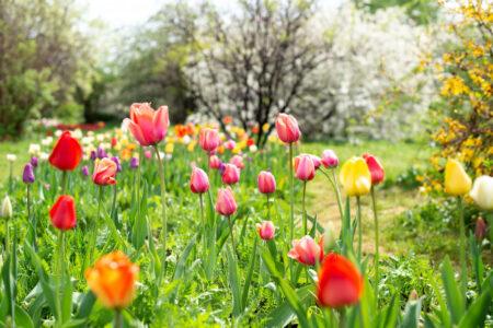 tulips-bloom-spring-garden-landscape_174343-349